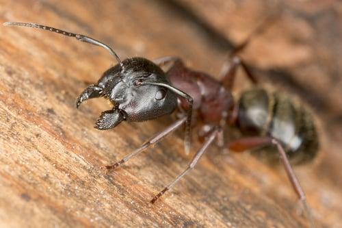 Clint Miller Carpenter Ant