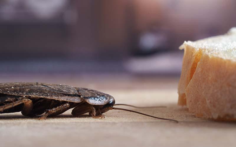 Roach_Food